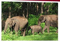 Elephants at Kabini